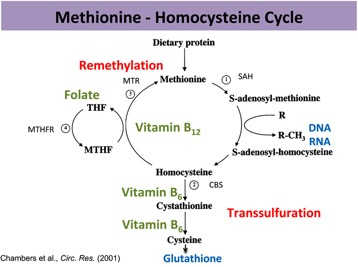 Methionine - Homocysteine Cycle